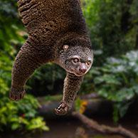 Sulawesi bear cuscus / Sulawesi bear phalanger (Ailurops ursinus / Phalanger ursinus ) hanging upside down from branch, endemic to Sulawesi, Indonesia