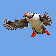 Atlantic puffin (Fratercula arctica) in flight landing with spread wings in summer