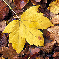 Fallen Sycamore leaf (Acer pseudoplatanus) among European beech (Fagus sylvatica) leaves in autumn colours, Ardennes, Belgium