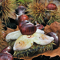 Spiny cupules containing nuts of Sweet chestnut (Castanea sativa) lying on the forest floor, Belgium