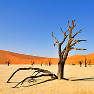 Dead Acacia erioloba trees in Deadvlei / Dead Vlei, a white clay pan in the Namib-Naukluft National Park, Namibia