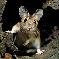 Wood mouse (Apodemus sylvaticus) in forest leaving hollow tree, Europe