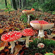 Fly agaric mushroom (Amanita muscaria) in autumn forest