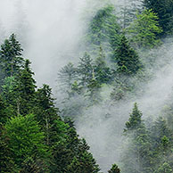 Morning mist over coniferous woodland, Pyrenees, France