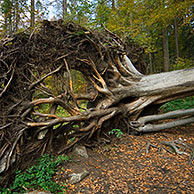Fallen beech tree (Fagus sylvatica) exposing roots in autumn forest, Germany