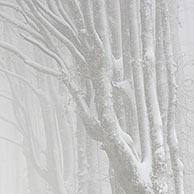 Snow covered Beech forest (Fagus sylvatica) in mist in winter, France