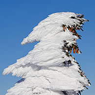 Frozen snow covered spruce trees after snowstorm in winter at Brocken, Blocksberg in the Harz National Park, Germany