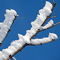 Branches of tree covered in white hoar frost and snow in winter showing ice crystal formation pointing in same direction by wind