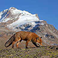 Red fox (Vulpes vulpes) in the mountains of the Alps in autumn, Gran Paradiso NP, Italy