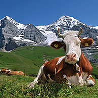 The Eiger mountain and Alpine cow (Bos taurus) with cowbell resting in pasture, Swiss Alps, Switzerland