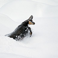 Chamois (Rupicapra rupicapra) foraging in deep powder snow in winter, Gran Paradiso National Park, Italian Alps, Italy
