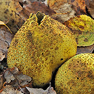 Common earthball fungus (Scleroderma citrinum), Belgium