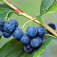 Common Solomon's Seal berries (Polygonatum multiflorum), Belgium