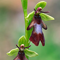 Fly orchid (Ophrys insectifera), La Brenne, France