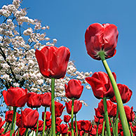 Colourful tulips (Tulipa sp.) and Japanese cherry (Prunus serrulata) in flower garden of Keukenhof, the Netherlands