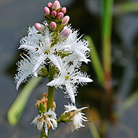 Buckbean / Bogbean flowering (Menyanthes trifoliata) in pond, Belgium