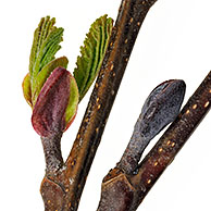 Black Alder / European Alder / Common Alder (Alnus glutinosa) buds opening and leaves emerging in spring, Belgium
