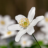 Wood anemones (Anemone nemorosa) flowering in spring forest, Germany