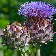 Cardoon / artichoke thistle (Cynara cardunculus) in flower, native to the Mediterranean