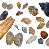 Rayed trough shell, Baltic tellin shell, Netted dog whelk, Acorn barnacle, Whelk, Necklace shell, Mussel, Atlantic jackknife, Wentletrap, American slipper limpet, Banded wedge shell, Cut trough shell, Pullet carpet shell, White piddock, Cockle