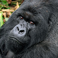 Close-up of Mountain gorilla (Gorilla gorilla beringei), member of the Susa group, Parc National des Volcans, Rwanda, Africa