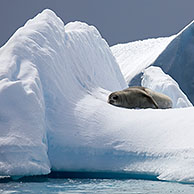 Crabeater seal (Lobodon carcinophagus) resting on iceberg at Trinity Island, Antarctica