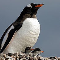 Gentoo Penguin (Pygoscelis papua) with chicks on nest in rookery at Petermann Island, Antarctica