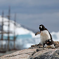 Gentoo Penguins (Pygoscelis papua) and the tallship Europa, a three-masted barque at Port Charcot, Wilhelm Archipel, Antarctica