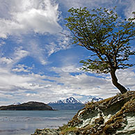 Lonely tree in the Tierra del Fuego National Park, Patagonia, Argentina