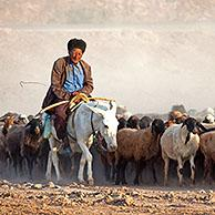 Turkmen shepherd riding on donkey while herding flock of sheep in the Karakum desert in Turkmenistan