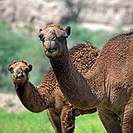 Dromedary / Arabian camel (Camelus dromedarius) with calf in the Karakum Desert, Turkmenistan