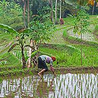 Indonesian woman planting rice in terraced rice paddy on the slopes of the Mount Gede / Gunung Gede volcano, West Java, Indonesia