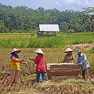 Indonesian manual laborers wearing caping, traditional Asian conical hats, harvesting rice in paddy field in the Garut district on Java, Indonesia