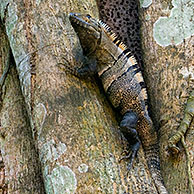 Black ctenosaur (Ctenosaura similis) in fig tree, Carara NP, Costa Rica