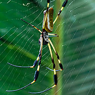Golden silk orb spider / Banana spider on web (Nephila clavipes), Costa Rica, Central America