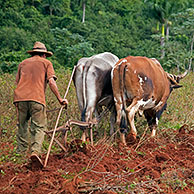 Cuban farmer ploughing field with traditional plough pulled by oxen on tobacco plantation in the Viñales Valley / Valle de Viñales, Sierra de los Organos, Pinar del Río, Cuba, Caribbean