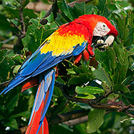 Colourful Scarlet macaw (Ara macao) eating nut in tree at Cayo Saetia / Cayo Sae-Tia, Cuba