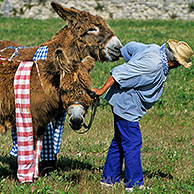 Man dragging two stubborn Baudet de Poitou donkeys wearing trousers at Ile de Ré / Isle of Rhé, Charente-Maritime, France