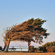 Windswept trees bent by coastal northern winds on the island Ile d'Oléron, Charente-Maritime, France