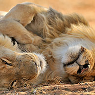 Two male African lions (Panthera leo) sleeping in the Kalahari desert, Kgalagadi Transfrontier Park, South Africa