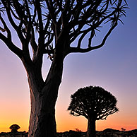 Quiver trees / Kokerboom (Aloe dichotoma) at sunset, Namibia