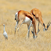 Juvenile Cattle egret (Bubulcus ibis) and two springbok grazing, Etosha National Park, Namibia
