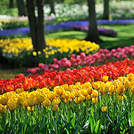 Colourful tulips (Tulipa sp.) in flower garden of Keukenhof, the Netherlands