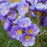 Boreal Jacobs-ladder / Northern Jacob's ladder (Polemonium boreale) in flower on the arctic tundra at Svalbard, Spitsbergen, Norway