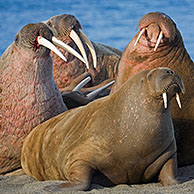 Walruses at walrus colony (Odobenus rosmarus) on Prins Karl Forland National Park, Svalbard, Spitsbergen, Norway