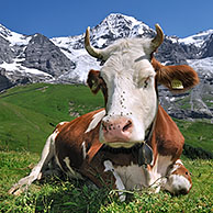 Walker among Alpine cows (Bos taurus) with cowbell in meadow, Swiss Alps, Switzerland