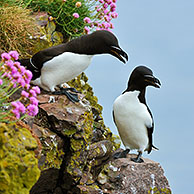 Razorbill (Alca torda) stretching wings on cliff top at the Fowlsheugh RSPB reserve, Scotland, UK
