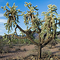 Chain fruit / Jumping cholla (Cylindropuntia fulgida) Organ Pipe Cactus National Monument, Arizona, USA