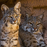 Two bobcats (Lynx rufus / Felis rufus) resting in cave, Arizona, USA