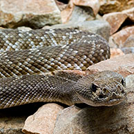 Red diamond rattlesnake (Crotalus ruber), Arizona, USA